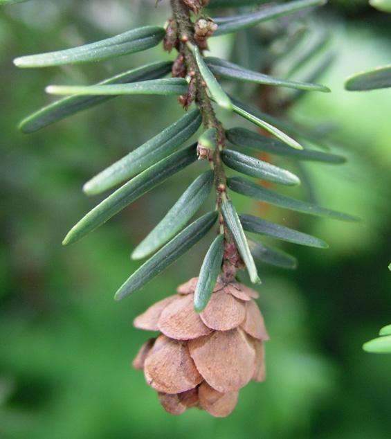 Japanese Hemlock Pinecone