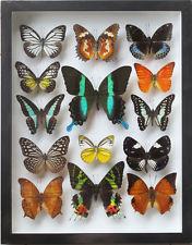 Georg Friedrich Treitschke's Butterfly Display