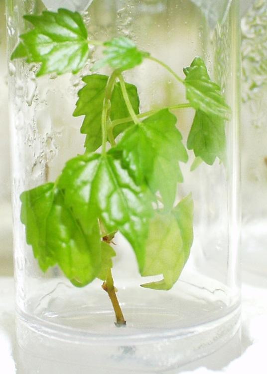 Aesop's Grapevine