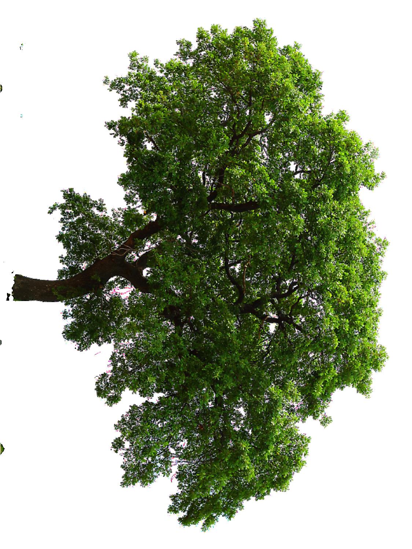Horizontal Oak Tree