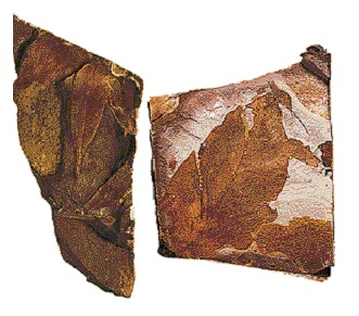 Ice Age Fossils