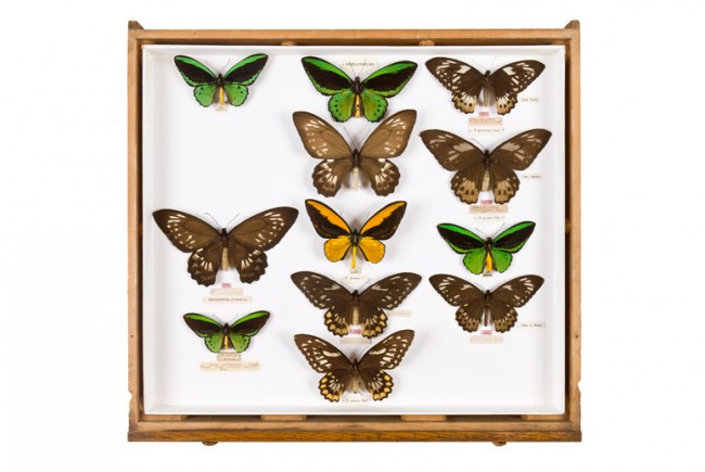 Henry Walter Bates' Butterfly Collection