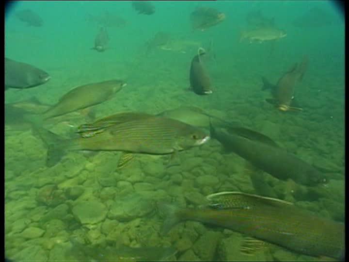 School of Salmon