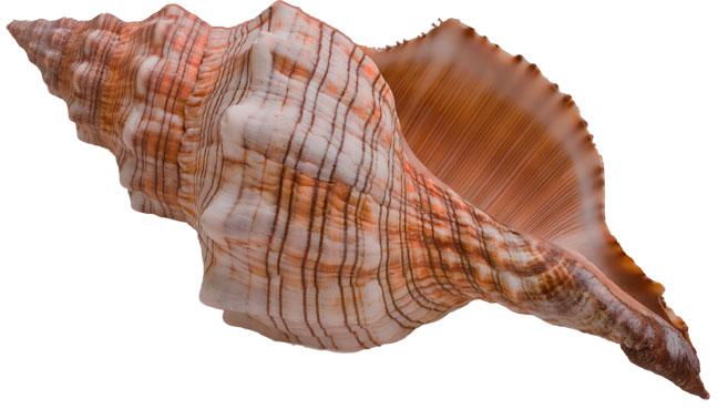 Original Conch Shell