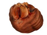 Żołądek Yogwuna