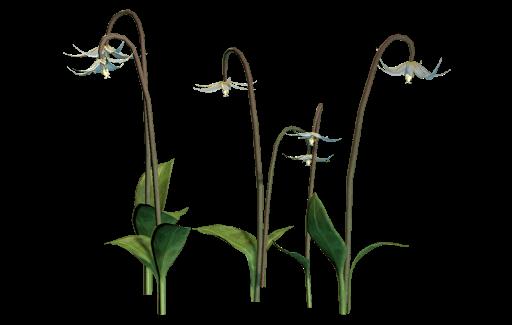 Dragonlily de Nuit