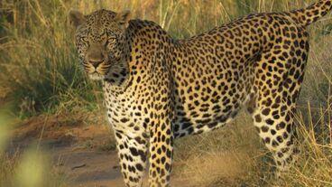 4356 fullimage luipaard panthera pardus marc bondewel 1100x618.jpg