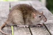 Крыса(4)