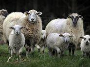 Овцы.preview