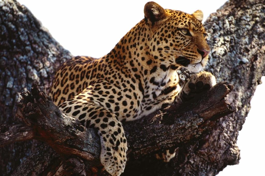 Быстрозвёзд (Леопардовое племя)