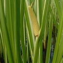 Осока (растение).png