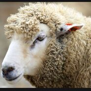 Овцыыыыыыгоа