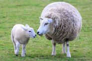 Sheep-lamb-wool-mother-top 118217
