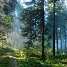 Wpapers ru Кусочек-лета-в-утреннем-сосновом-лесу.jpg