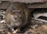 Крыса (2)