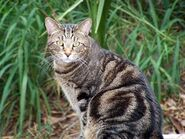 Gatto-europeo-tigrato-carattere NG3