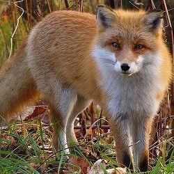 Fox (creature)
