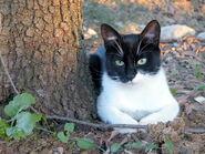 Gatto-europeo-bianco-e-nero
