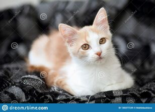 Portrait-young-white-light-ginger-tabby-cat-beautiful-motley-copper-coloured-eyes-resting-home-130377239.jpg