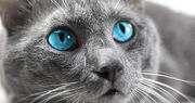 Cats-with-blue-eyes.jpg