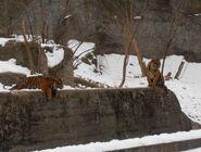 Ogród Zoologiczny (tygrysy)