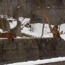 Ogród Zoologiczny (tygrysy).JPG
