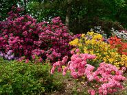 Rododendrony2