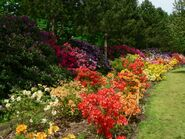 Rododendrony1