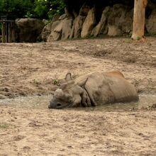 Ogród Zoologiczny (nosorożec).JPG