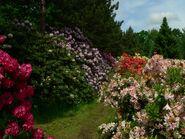 Rododendrony4