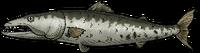 BarracudaWhole.png