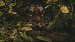 The Raj bengal tiger lurking