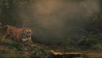 The raj bengal tiger attack