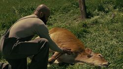 Ww s3e1 Bernard with cow.jpg