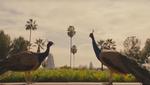 The Raj peacocks