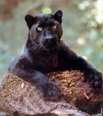 Panther big.jpg