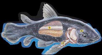 Coelacanth 2