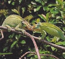 Jackson's Chameleon Back Image.png