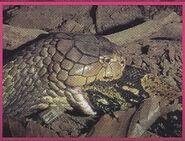 King cobra 3.jpg