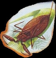 Water Scorpion 1