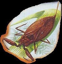 Water Scorpion 1.jpg