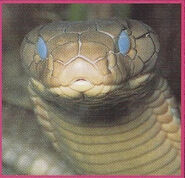 King cobra 2.jpg