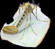 Malarial Mosquito 3