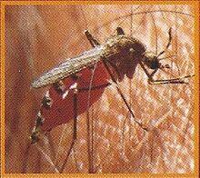 Malarial Mosquito 2.jpg
