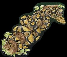 Reticulated Python 2.jpg