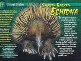 Short-Beaked Echidna