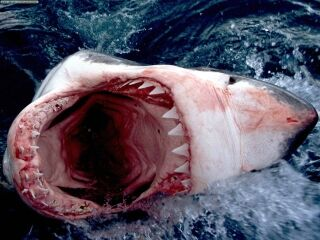 A shark in the midst of quenching its blood thirst.