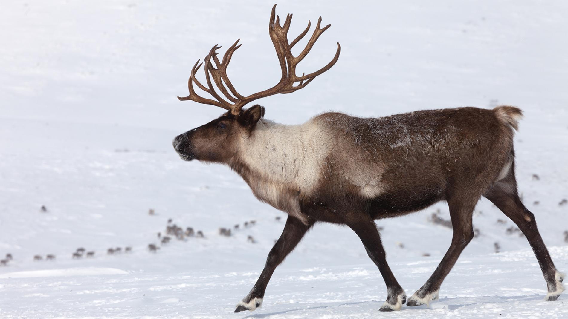 Caribou Wild America Wiki Fandom