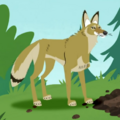 Coyote AN