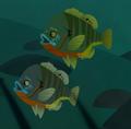Redbreast Sunfish AN